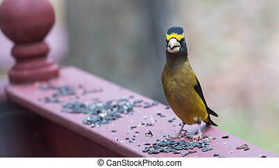 Yellow, black & white colored Evening Grosbeaks(...