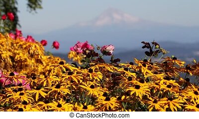 Yellow Blackeye Susan Flowers with Mount Hood in Portland...
