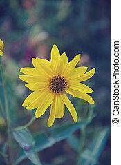 Yellow bloom sunflowers