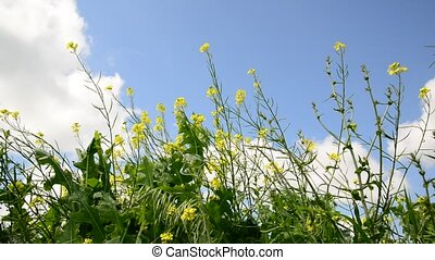 yellow blooming canola against sky