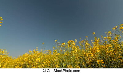 Yellow blooming field and blue sky