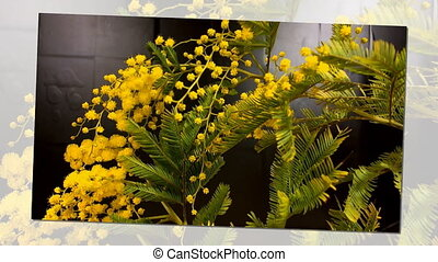 Yellow blooming of mimosa tree in spring with move