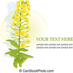 Yellow blooming rapeseed - Illustration of rapaseed flower ...