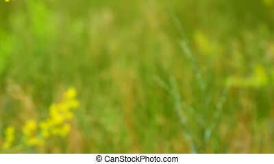 Yellow blooming wildflowers , Galium verum