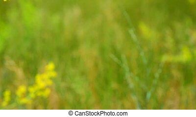 Yellow blooming wildflowers , Galium verum