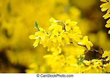 Yellow blossoms of forsythia bush