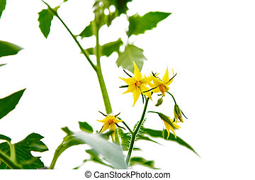 Yellow blossoms of tomatoes isolated white background