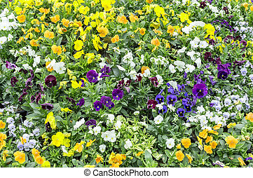 Yellow blue pansy flowers