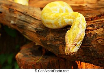 Yellow boa constrictor