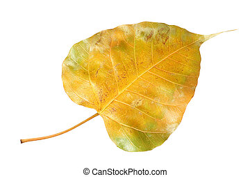Yellow bodhi leaf vein isolated on white background