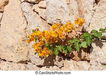 yellow bougainvillea, Sharm el Sheikh, Egypt. - Beauty...
