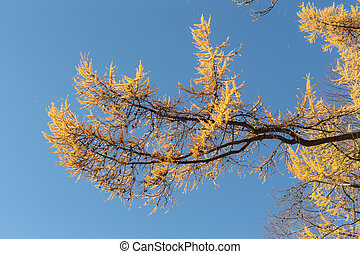 yellow branches of autumn larch
