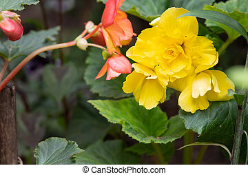 yellow bright flowers of tuberous begonias ,Begonia tuberhybrida, blooming in garden.Blooming begonia grows in flower pot in garden. Plant with large double flowers