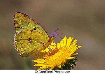 yellow brimstone butterfly on a wild flower