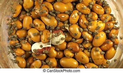 Yellow Brown gram bean infected by Acanthoscelides obtectus...