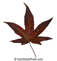 Yellow brown Japanese maple leaf