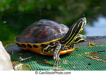 Yellow brown turtle with long neck and spotted armor
