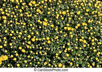 Yellow budding Mums