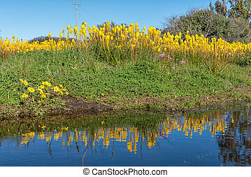 Yellow bulbinellas with reflections in a pond at...