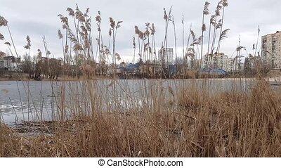 yellow bulrush by the lake - yellow bulrush at the lake,...