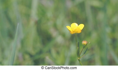Yellow Buttercup flower in light breeze