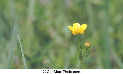 Yellow Buttercup flower in light breeze - Yellow Buttercup...
