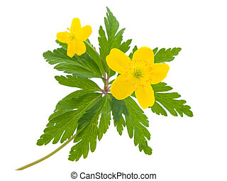 yellow buttercup flower the spring