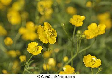 Yellow buttercups in field