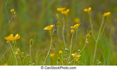 yellow buttercups in meadow