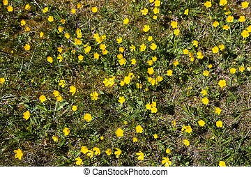 Yellow buttercups in the meadow