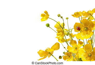 Yellow buttercups with ladybug on white