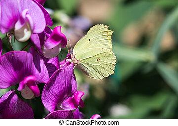Yellow butterfly closeup - Yellow Brimstone butterfly...