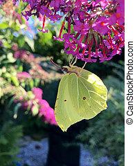 Yellow butterfly (Gonepteryx rhamni) on a purple flower in...