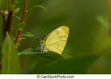 Yellow butterfly hiding in the leafs