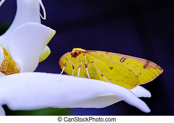 Yellow Butterfly is laying over an orchid. - Small yellow...