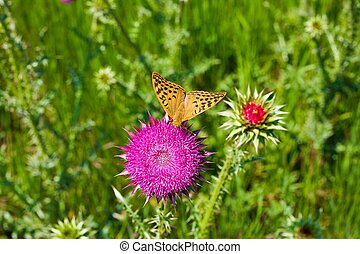 yellow butterfly on a pink flower thistle, top view