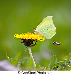 Yellow butterfly on yellow flowers