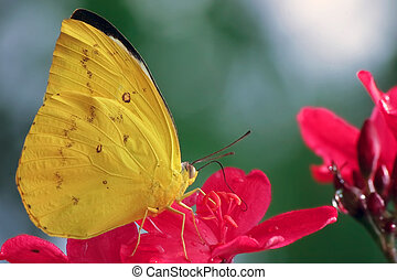 yellow butterfly pieridae - beautiful pieridae specie on red...