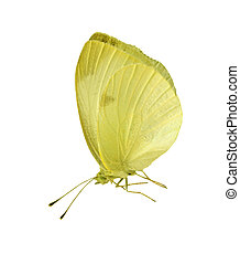 Yellow Butterfly - Small yellow butterfly isolated on white...