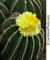 Yellow cactus flower. - Yellow cactus flower, close-up.