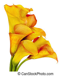 Vibrant yellow and red calla lilies, over white background.