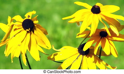 Yellow camomile flowers - Yellow camomile (daisy) flowers