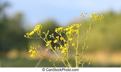 Yellow camomiles in the field