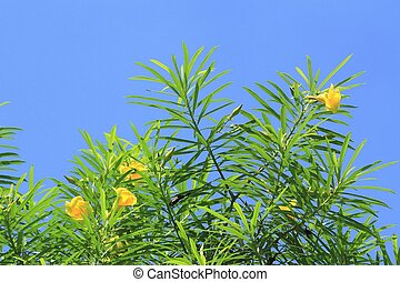 Trumpet Flower, Yellow Campanilla, Yellow Oleander, Lucky Nut