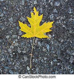 Yellow canadian maple leaf on groun