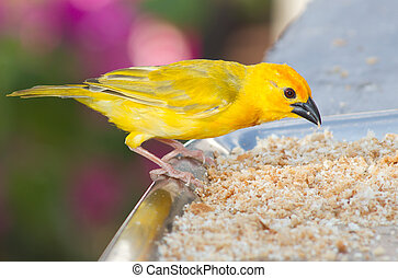 Yellow canary feeding on breadcrumbs