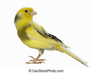 Yellow canary Serinus canaria on a white background