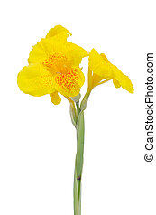 Yellow Canna flower isolated on white background