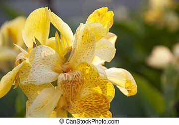 Yellow canna generalis for background