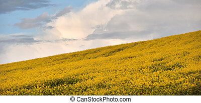 Yellow canola field in the summer